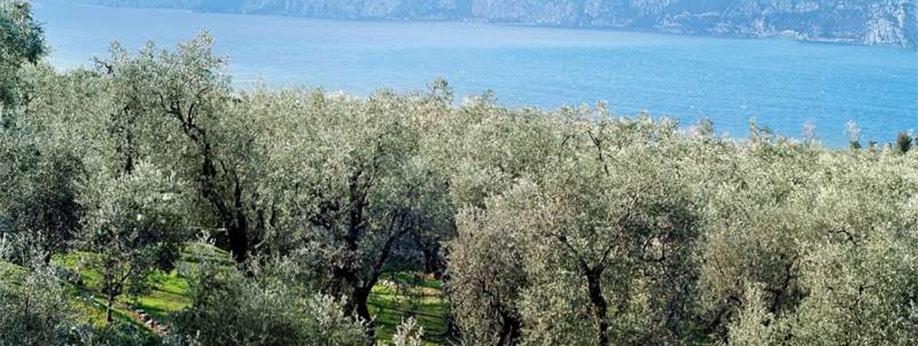 Ulivi sul lago di Garda